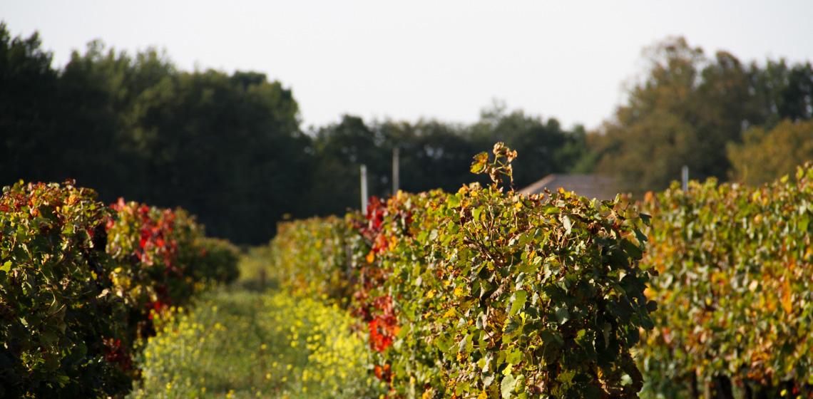 Francs-Cotes-de-Bordeaux-blanc-doux-9