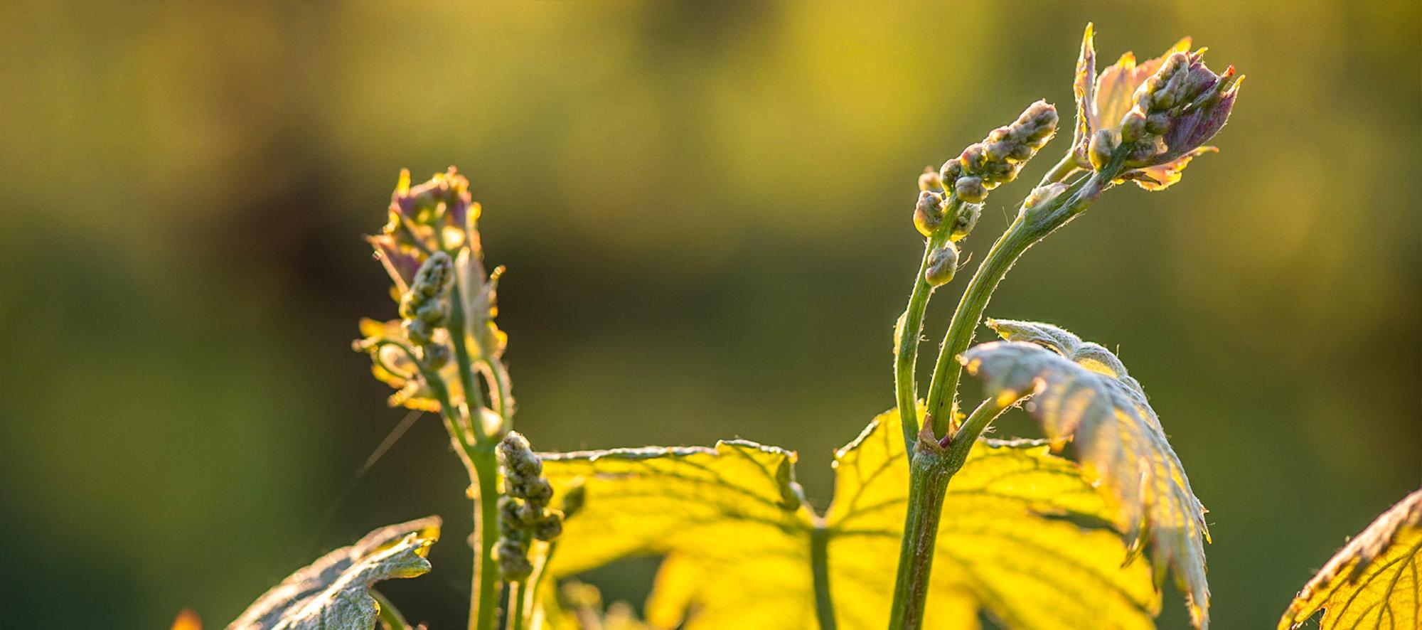 Viticulture bio, biodynamique, raisonnée… quelles différences ?