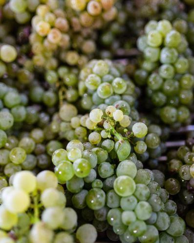 bordeaux cremant grapes