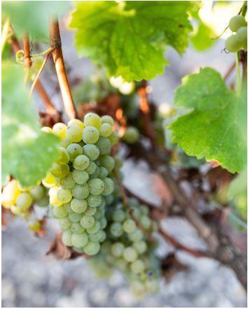bordeaux xine grape