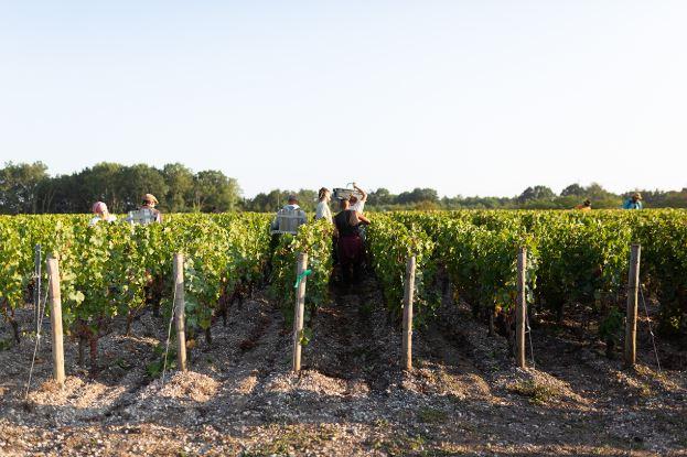 Bordeaux wine vines