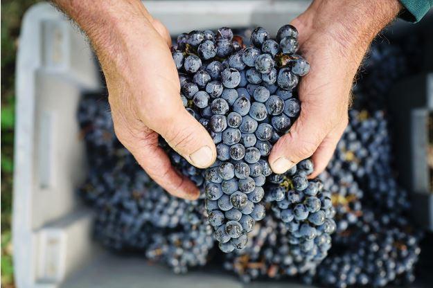 Bordeaux wine grapes