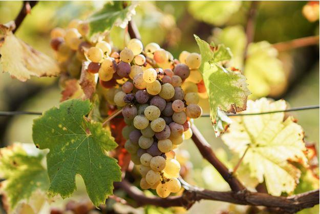 bordeaux wine white grapes