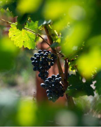 grapes bordeaux wine