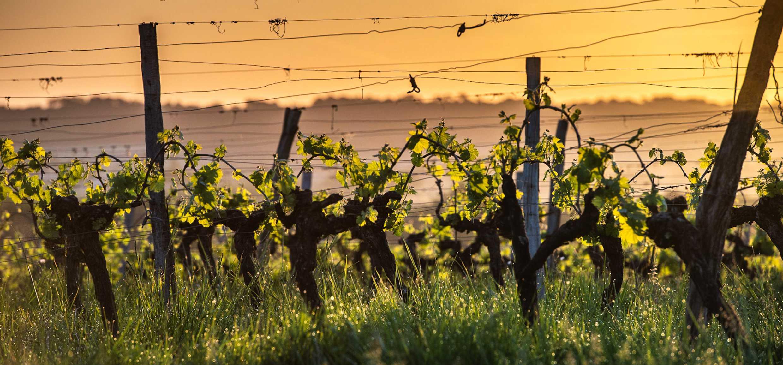 Klimawandel: Weinregion Bordeaux testet 7 neue Rebsorten