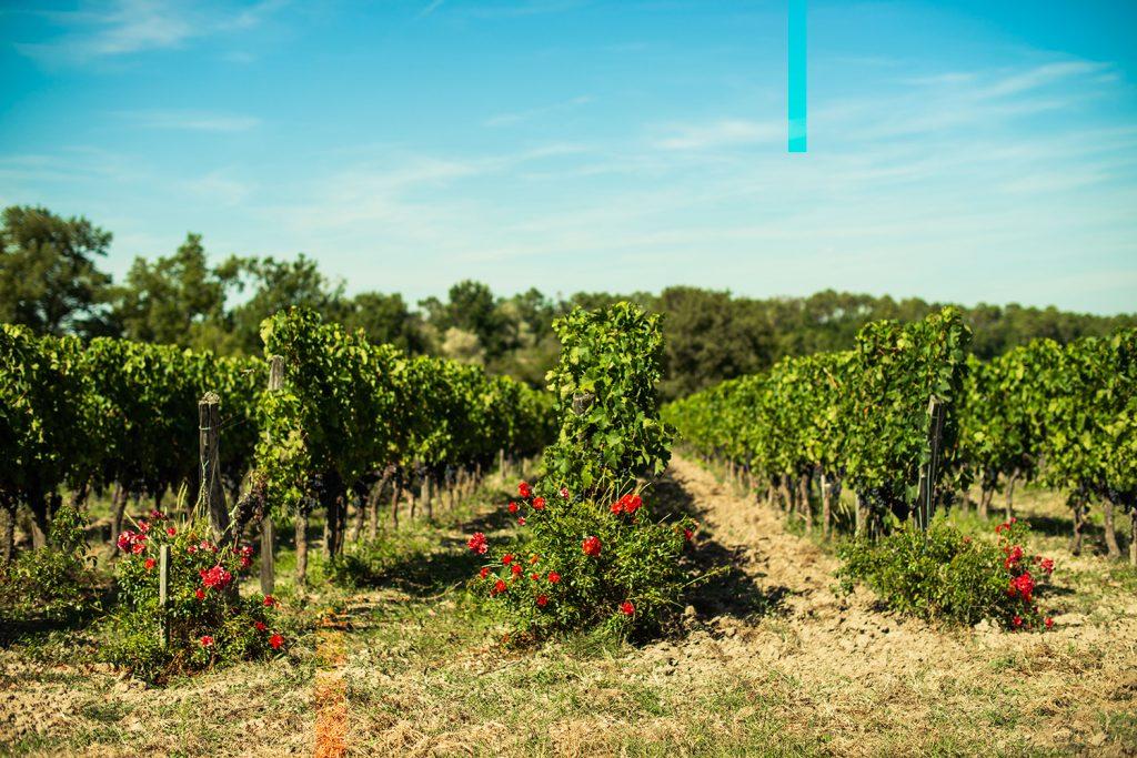 wijngaard rozen bordeaux