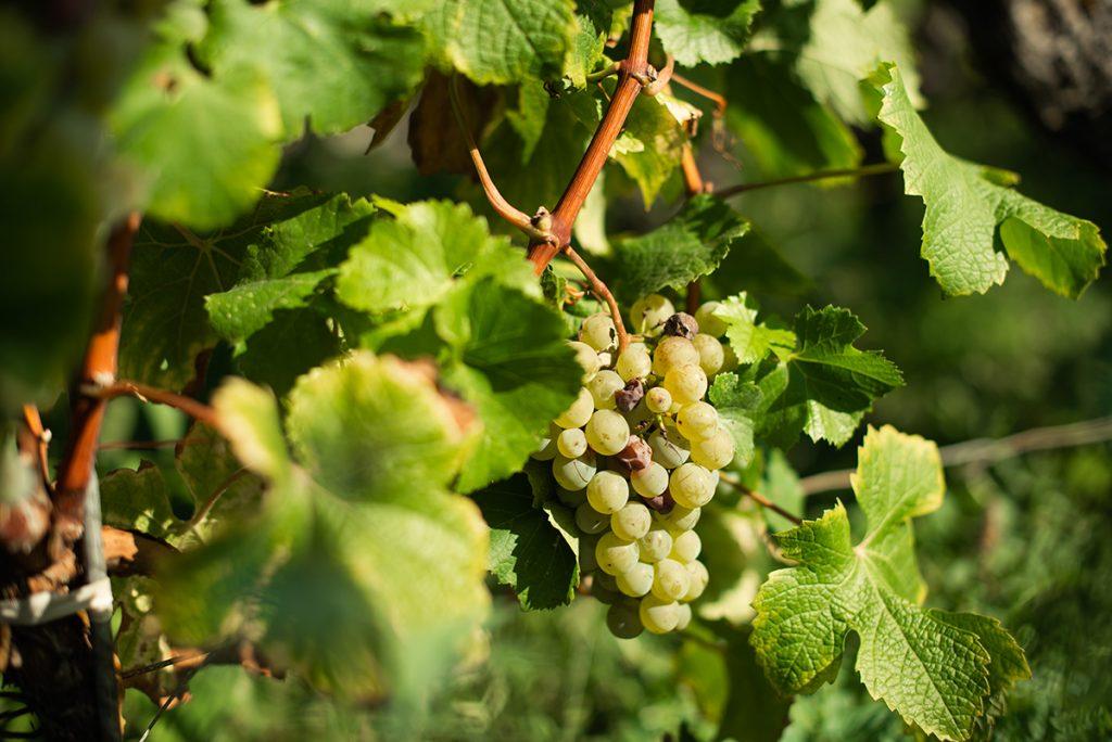 witte druif wijngaard