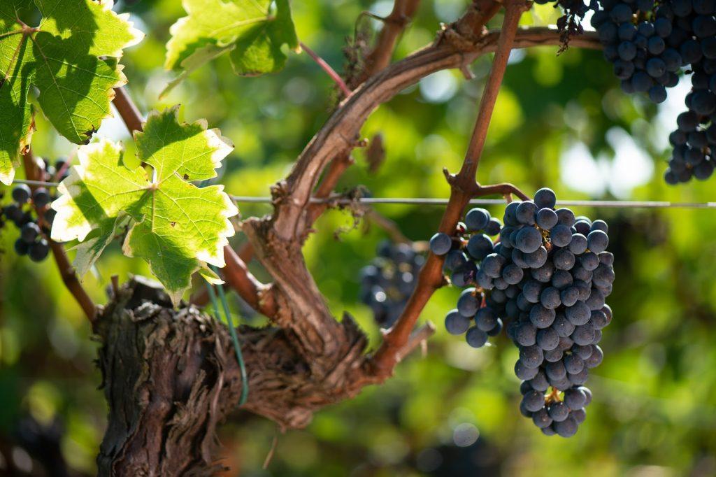 red grape bordeaux wine