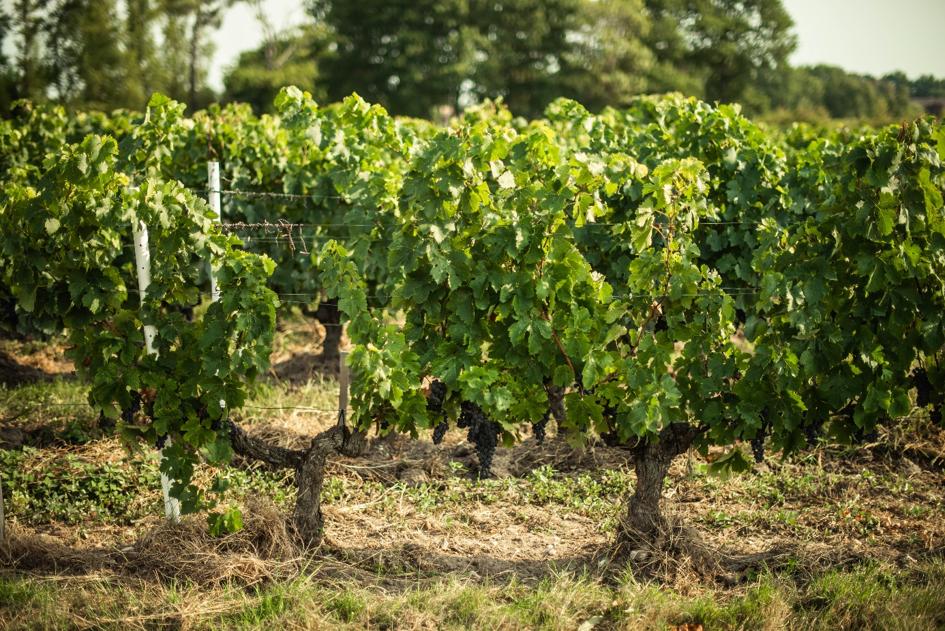 wijnrank wijngaard druiven