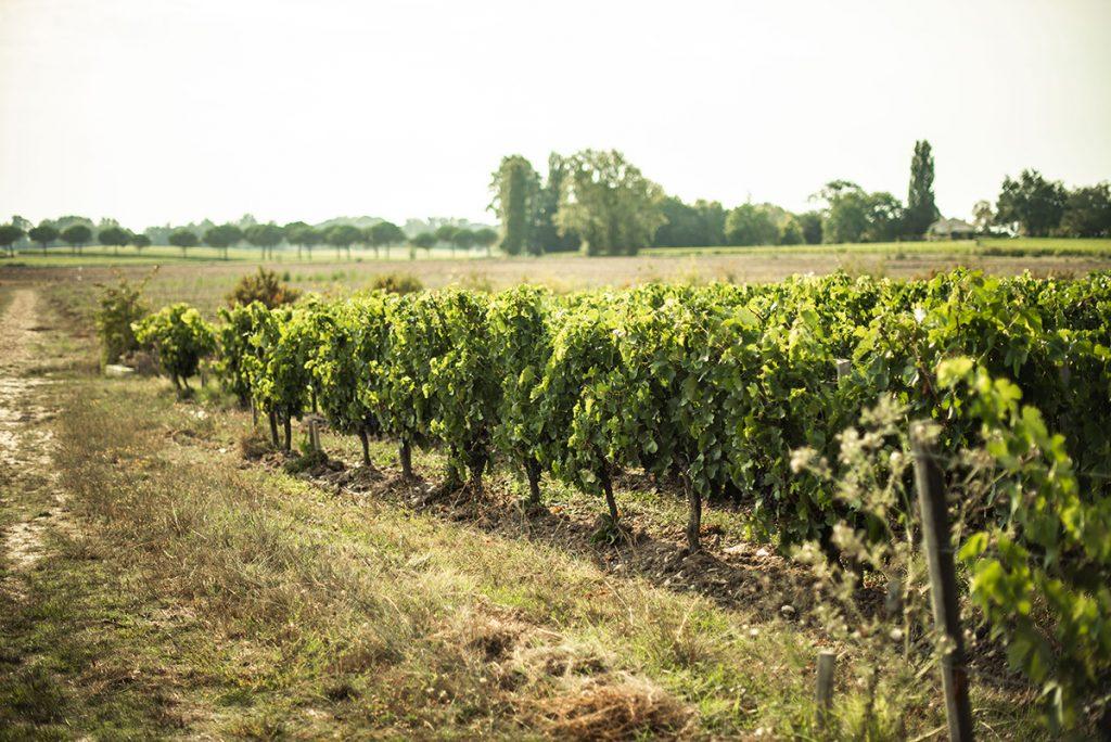 wijngaard wijnranken druiven