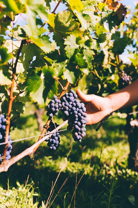 vines grapes sommelier bordeaux