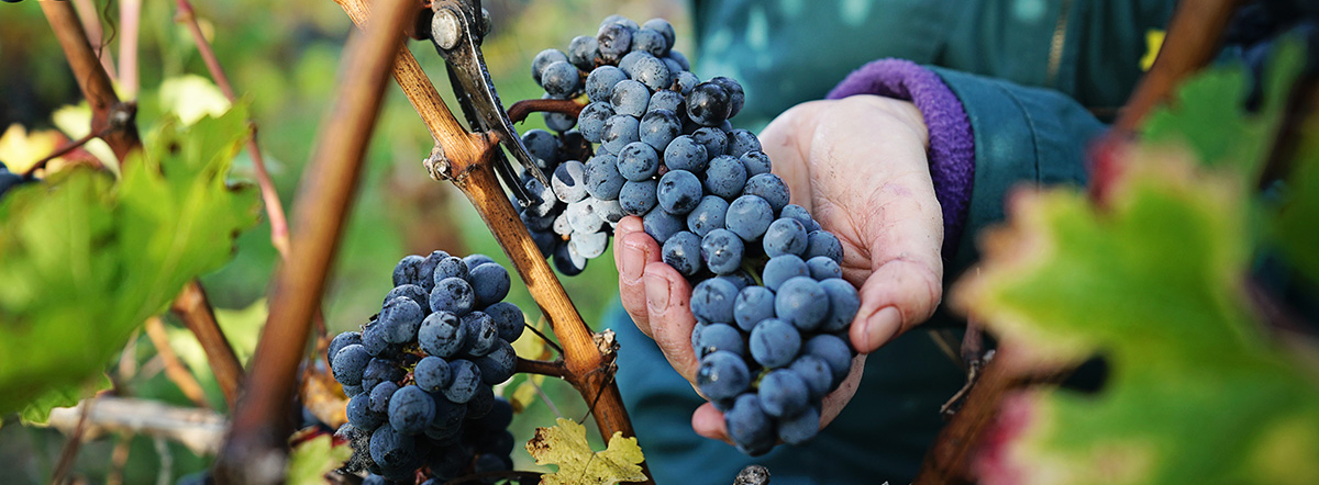 News from 2020 Bordeaux Harvest, a year unlike any other