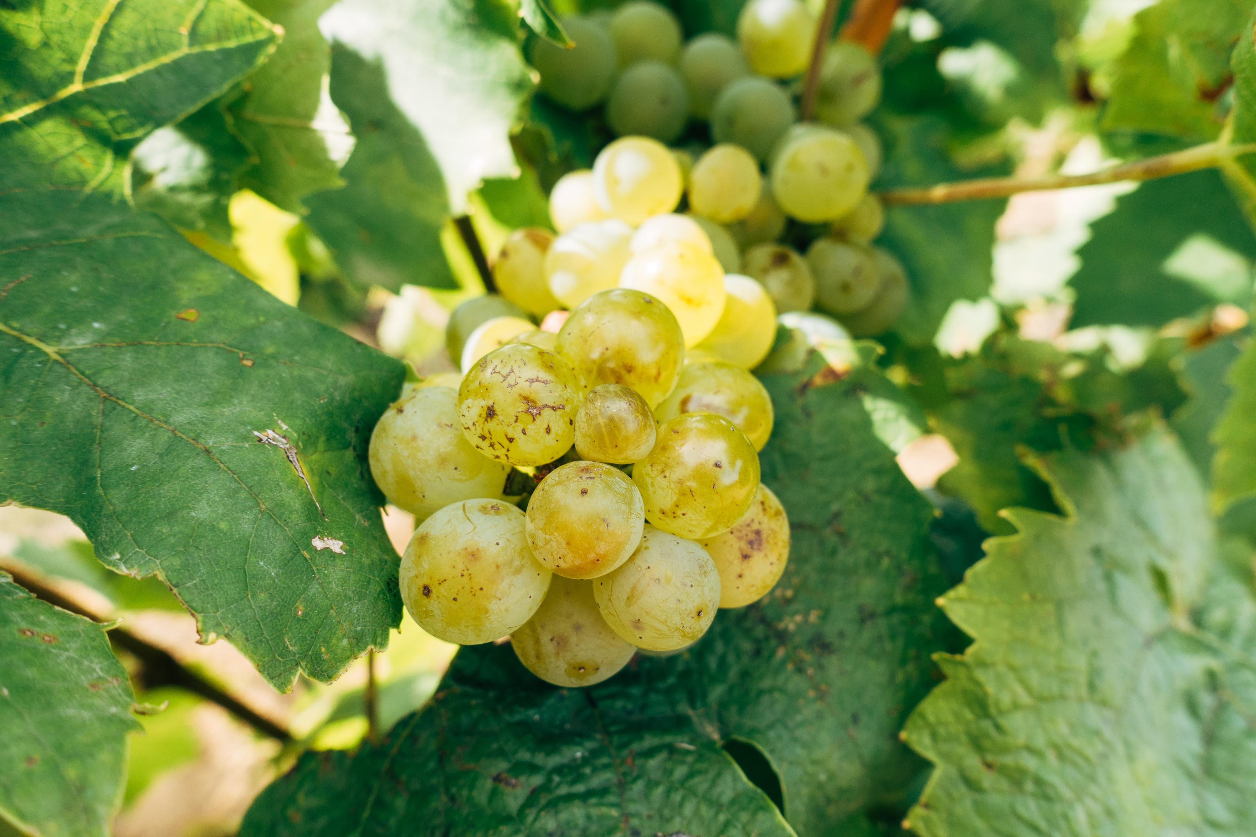 white grapes wines bordeaux