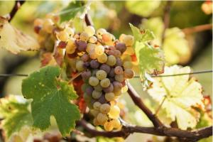 grape bordeaux wine