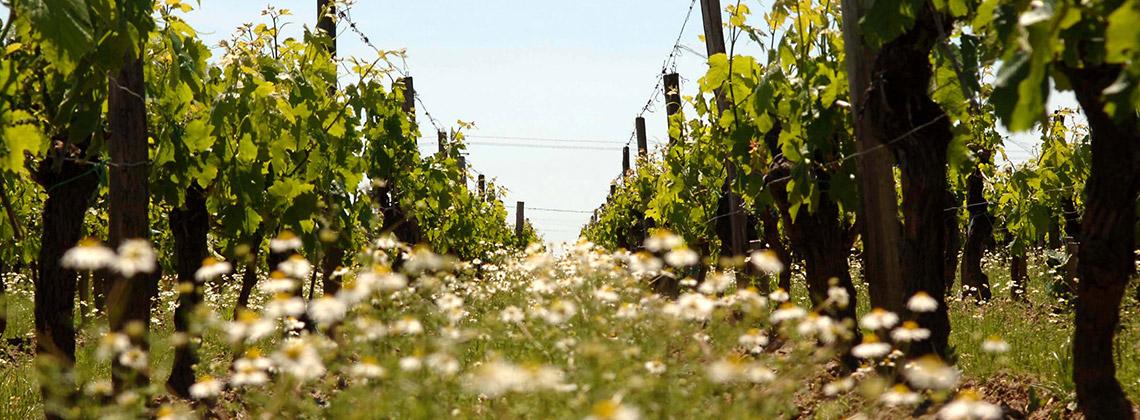 Nachhaltigkeit im Weinbau – Bordeaux setzt sich hohe Ziele im Klimafahrplan 2020