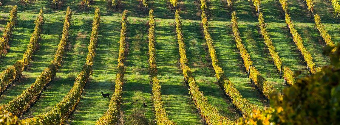 Verantwortungsvoll in die Zukunft – Nachhaltigkeit im Weinbau in Bordeaux
