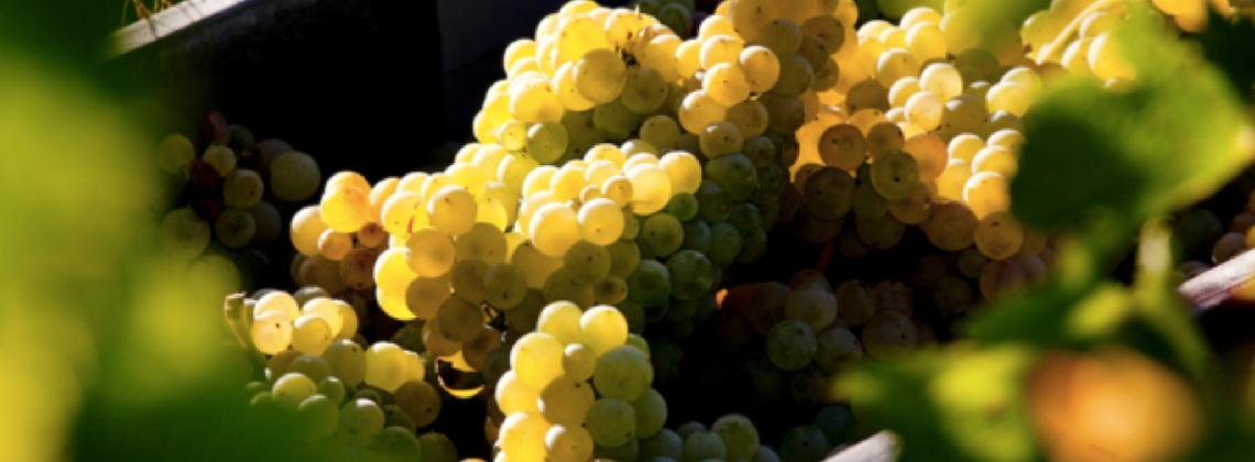 Bordeaux blancs secs et rosés : bienvenue au millésime 2016 !