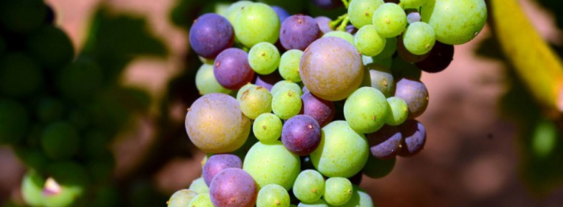 Bordeaux 2015: Mooie oogst in zicht