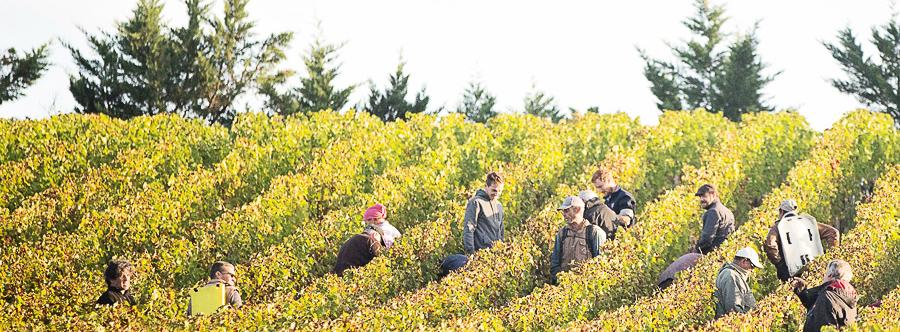 De wijnoogst: een beknopte handleiding