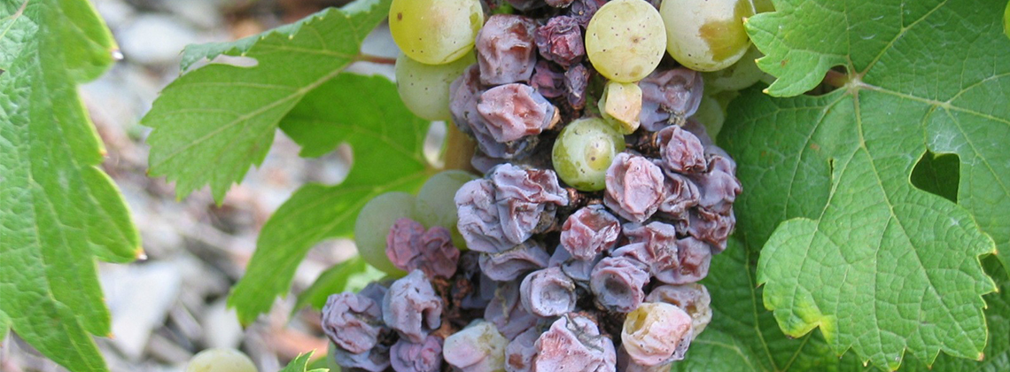 What Is Noble Rot?