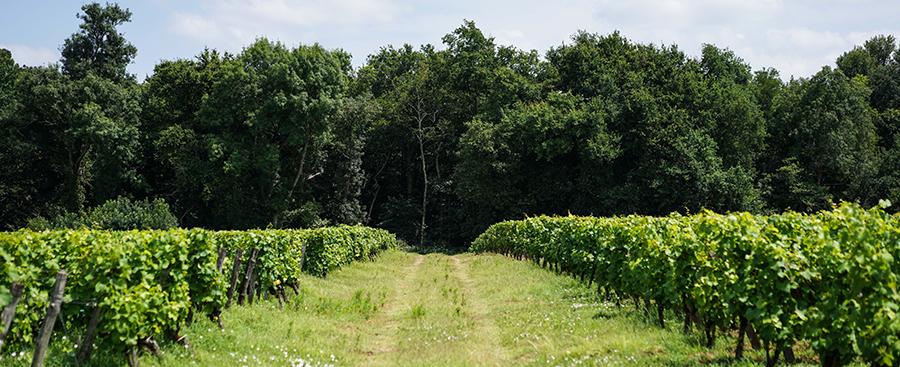 L'été dans les vignes