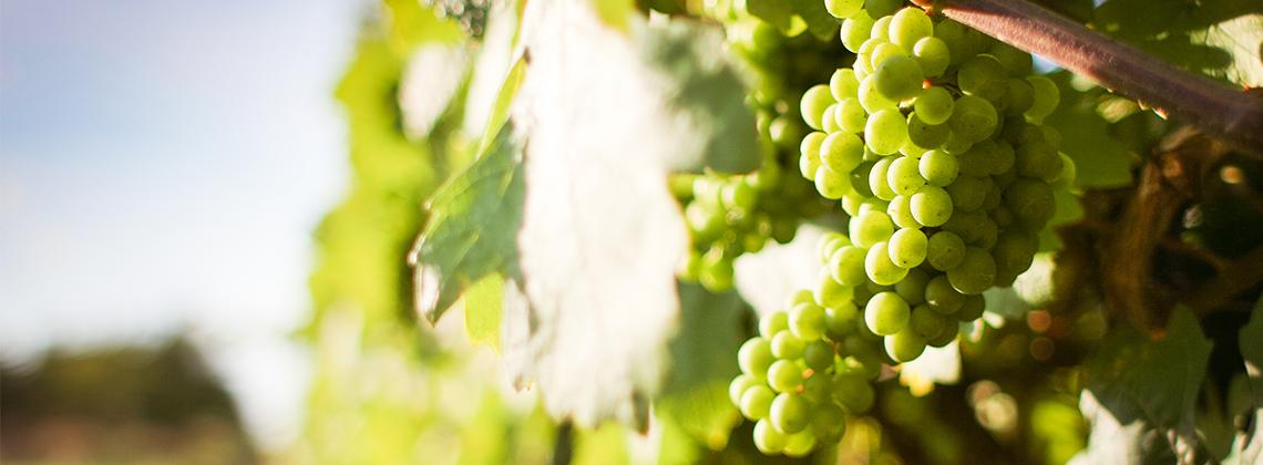 L'été de la vigne