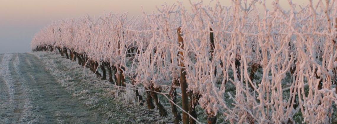 En direct des vignes : le givre étend son manteau blanc sur le vignoble bordelais…