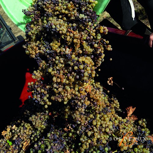 wit oogst druif plukker