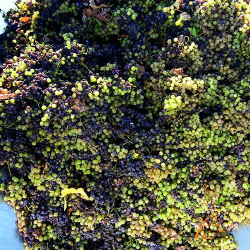 oogst druif plukker