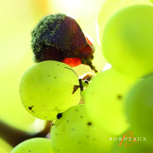 druif zoet wijn bordeaux