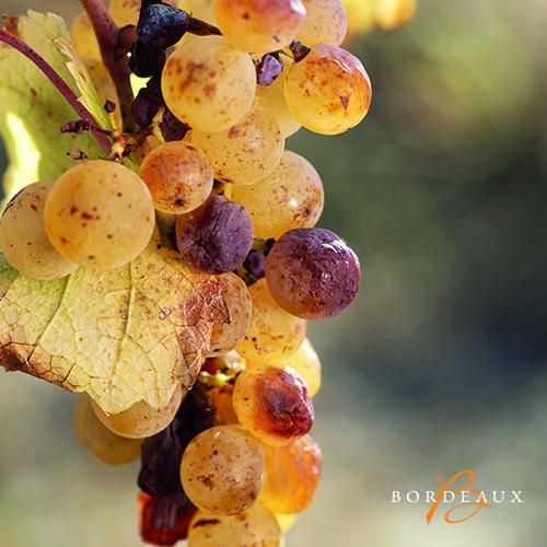 oogst zoet druif