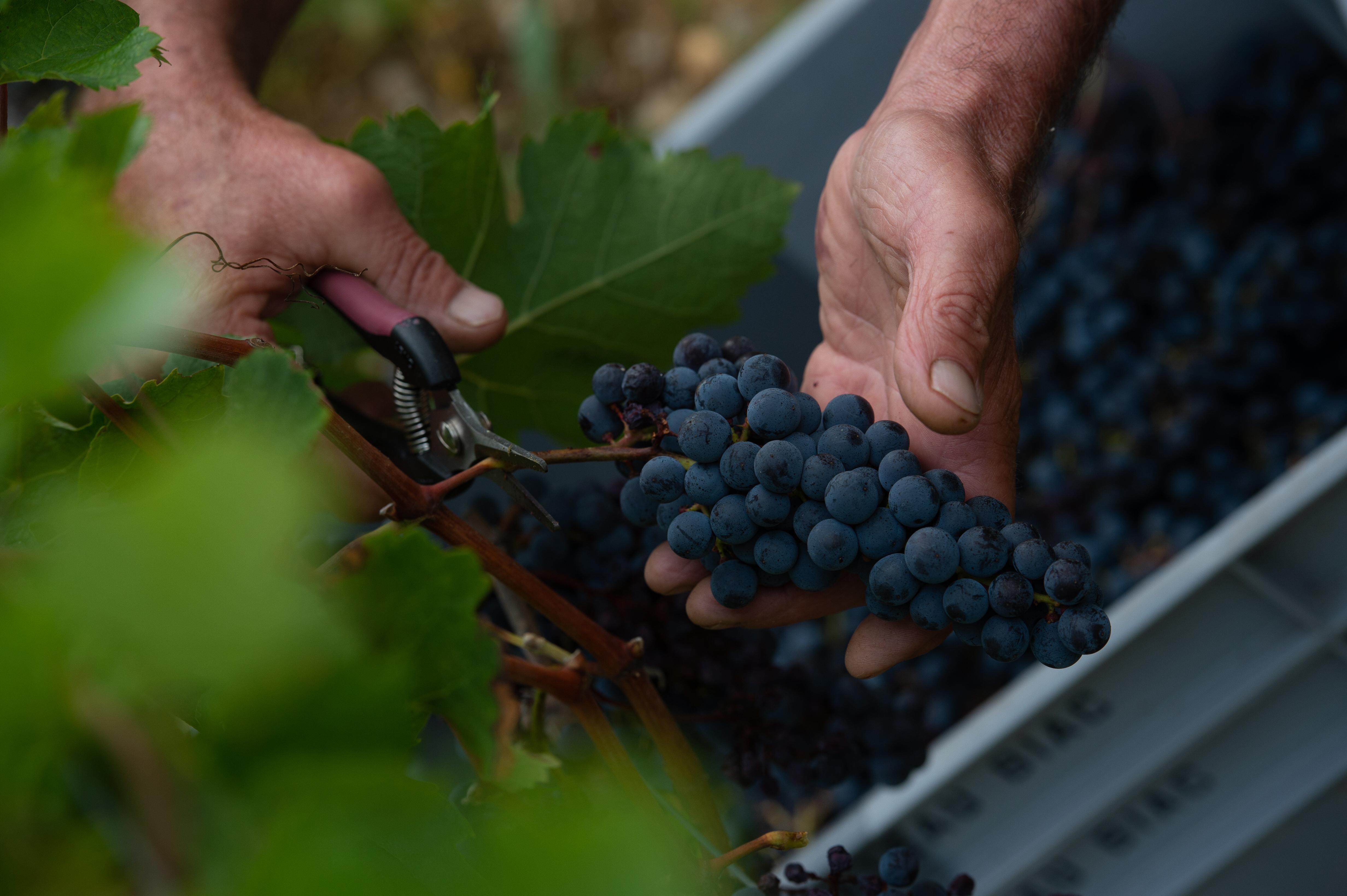 raisin mûres vignoble